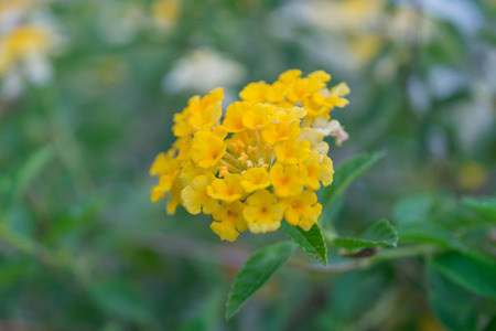 Flower wrightia antidysenterica wal idda or white angel flower flower lantana camara flower yellow and white color naturally beautiful flowers in the mightylinksfo