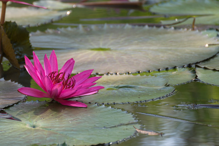 Lotus flower (Lotus or Nelumbo) purple, violet and pink color, Naturally beautiful flowers in the garden Stock Photo