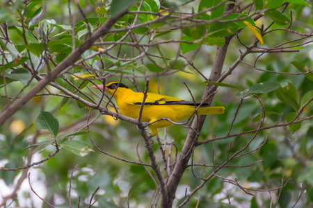 Bird (Black-Naped Oriole, Oriolus chinensi) yellow color perched on a tree in the garden