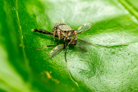 Macro of spider (Jumping Spiders) insect eating mosquito close up on the leave in nature Stock Photo