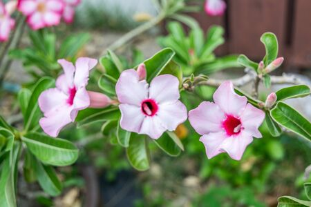 Flower (Adenium obesum, Impala Lily, Mock Azalea, Sabi Star, Kudu or Desert-rose) pink and white color, Naturally beautiful flowers in the garden