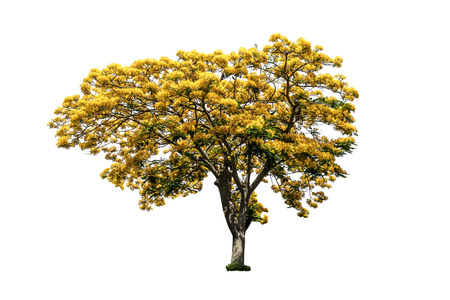 Tree (Peacock flower tree) yellow color isolated on white background Stock Photo