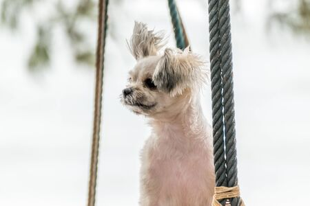 Dog so cute beige color mixed breed with Shih-Tzu, Pomeranian and Poodle  travel at beach on beach swing Stock Photo