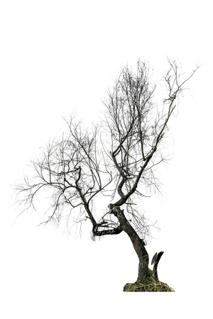 Tree (Dead dry tree) isolated on white background