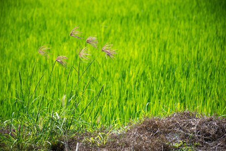 Flower of grass beautiful blooming in nature on foreground and green blurred background on the rice field or rice paddy