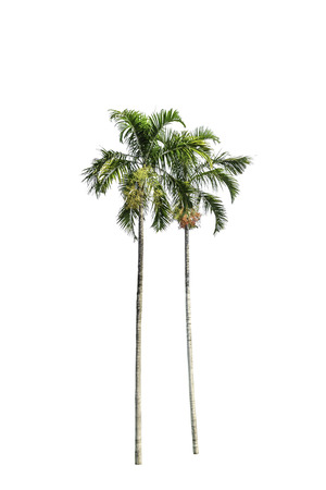 Tree (Betel palm) green color isolated on white background