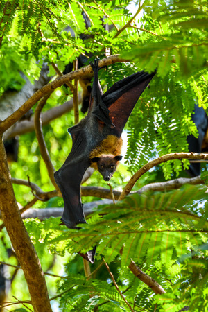 Bat (Lyles flying fox, Pteropus lylei or Pteropodidae) perched hanging on a tree in the wild Stock Photo