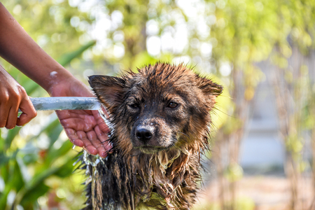 wash: Dog so cute mixed breed in Thailand get a bathing for clean and health is a stray dog in Thai temple
