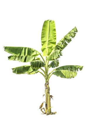 Tree (Banana tree) green color isolated on white background
