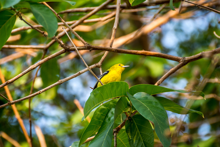 Bird (Common Iora, Aegithina tiphia) yellow color perched on a tree in the garden