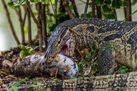 versicolor: Lizard (Water monitor or Asian water monitor) is a large lizard is type reptile eating a fish at nature outdoor park
