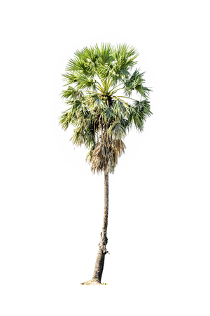 Tree (Sugar palm) green color isolated on white background