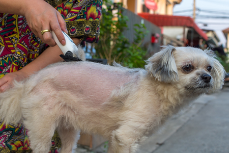 trimmed: Grooming and haircut the dog fur of beige dog so cute mixed breed with Shih-Tzu, Pomeranian and Poodle by human with dog clipper Stock Photo
