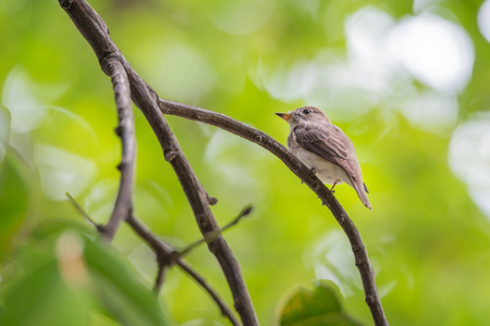 siamensis: Bird (Asian brown flycatcher, Muscicapa dauurica, Siamensis) grey-brown color perched on a tree in the garden Stock Photo