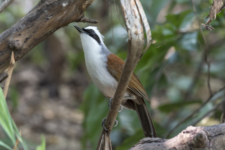Bird (White-crested Laughingthrush, Garrulax leucolophus) brown and white and the black mask perched on a tree in the garden
