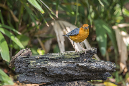 median: Bird (Orange-headed thrush, Geokichla citrina) bentirely orange head and underparts, uniformly grey upperparts and wings, and white median and undertail coverts perched on a timber in the garden Stock Photo