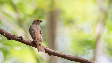 pied: Bird (Blue-and-white Flycatcher, Japanese Flycatcher) female brown color perched on a tree in the garden risk of extinction