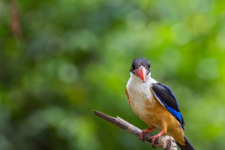 Bird (Black-capped Kingfisher, Halcyon pileata) purple-blue wings and back, black head and shoulders, white neck collar and throat, and rufous underparts perched on a tree in the garden Stock Photo