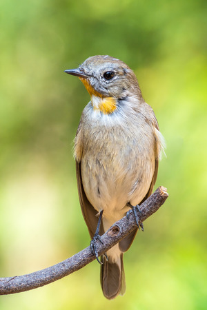 Bird (Red-throated Flycatcher, Taiga Flycatcher, Ficedula albicilla, Ficedula parva) brown above and white below, with a grey head and orange throat perched on a tree in the garden risk of extinction Stock Photo