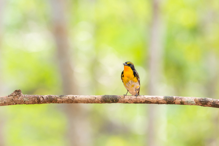 Bird (Narcissus Flycatcher, Ficedula narcissina) male black, orange, orange-yellow color  perched on a tree in the garden risk of extinction