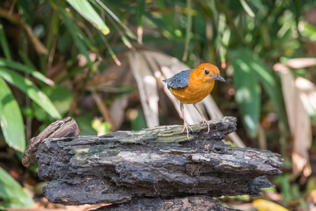 hysteria: Bird (Orange-headed thrush, Geokichla citrina) bentirely orange head and underparts, uniformly grey upperparts and wings, and white median and undertail coverts perched on a timber in a wild