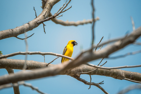 WEAVER: Bird (Asian golden weaver, Ploceus hypoxanthus) male yellow, gold and black color perched on a tree in the garden Stock Photo