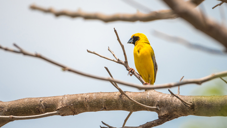 hysteria: Bird (Asian golden weaver, Ploceus hypoxanthus) male yellow, gold and black color perched on a tree in the garden Stock Photo