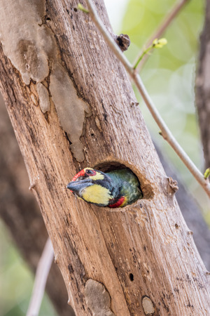 Bird (Coppersmith barbet, Crimson-breasted barbet, Coppersmith, Megalaima haemacephala) yellow color perched in hollow tree trunk in the garden