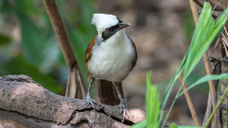 Bird (White-crested Laughingthrush, Garrulax leucolophus) brown and white and the black mask perched in a wild Stock Photo