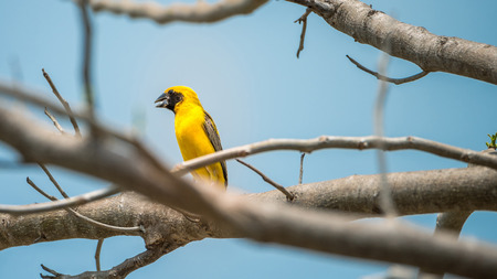 pied: Bird (Asian golden weaver, Ploceus hypoxanthus) male yellow, gold and black color perched on a tree in the garden Stock Photo