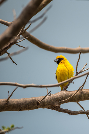 perched: Bird (Asian golden weaver, Ploceus hypoxanthus) male yellow, gold and black color perched on a tree in the garden Stock Photo