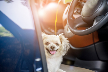 Dog so cute mixed breed with Shih-Tzu, Pomeranian and Poodle sitting on car seat inside a blue car wait for travel trip Archivio Fotografico