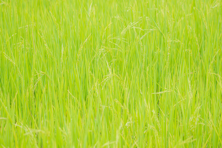 Nature of rice field on rice paddy green color lush growing is a agriculture in asia