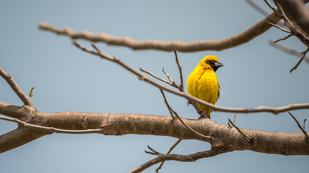 Bird (Asian golden weaver, Ploceus hypoxanthus) male yellow, gold and black color perched on a tree in the garden Stock Photo
