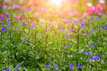 Blume (Blue Hawaii, Scrophulariacea) Blau, Lila Farbe, Natürlich ...