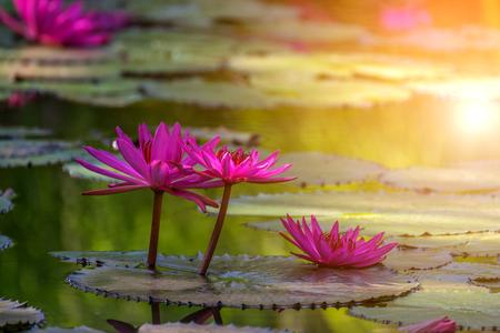 Lotus flower lotus or nelumbo purple violet and pink color lotus flower lotus or nelumbo purple violet and pink color naturally beautiful mightylinksfo