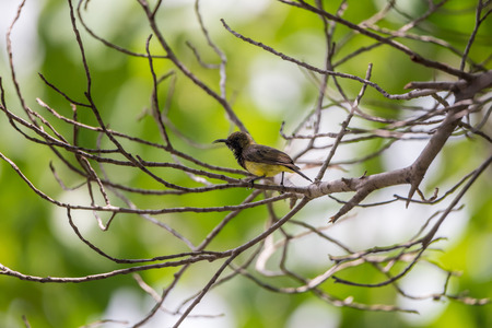 hysteria: Bird (Olive-backed sunbird; Yellow-bellied sunbird) male yellow color perched on a tree in the garden Stock Photo