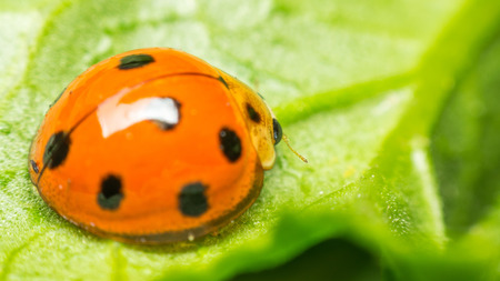 Macro of bug insect (Ladybug) orange and dot black color close up on the green leaf or leave in nature