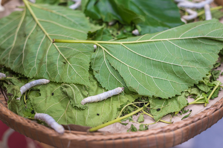 sericulture: Silkworm is worm to creates a silk cocoon of yellow fibers use for weave of making Thai silk from cocoon use by homemade in Laos and Thailand