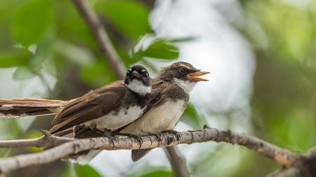 fraternidad: Dos pájaros (Pied Fantail Flycatcher, Rhipidura javanica) color negro en una naturaleza salvaje son pareja, amigos o hermanos Foto de archivo