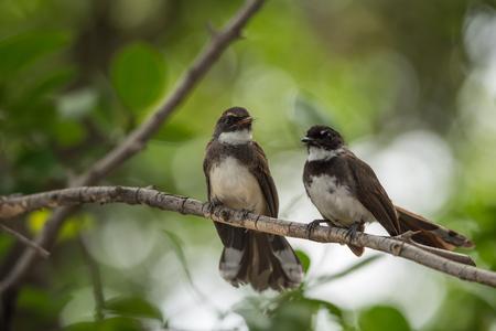 Two birds (Pied Fantail Flycatcher, Rhipidura javanica) black color in a nature wild are couple, friends or brethren Stock Photo
