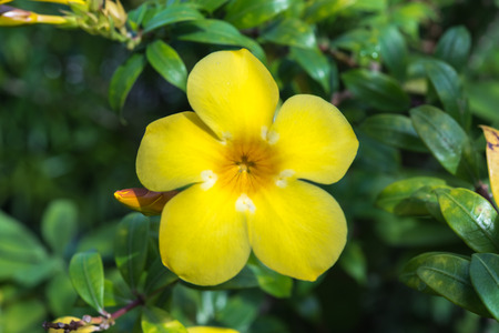 Flower allamanda golden trumpet flower yellow color naturally flower allamanda golden trumpet flower yellow color naturally beautiful flowers in the mightylinksfo