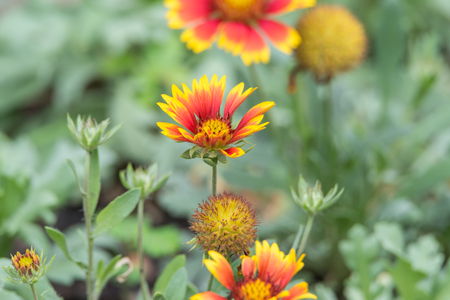 Flower (Zinnia, Zinnia violacea Cav.) yellow, pink, orange and red color, Naturally beautiful flowers in the garden