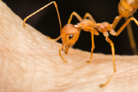 Macro of ant (Red Ant or Green Tree Ant) biting on the human skin for self-defense or self-protection from human Фото со стока
