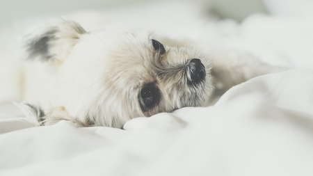 Sweet dog so cute mixed breed with Shih-Tzu, Pomeranian and Poodle sleep lies on a bed of white veil Stock Photo
