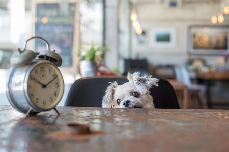 Sweet dog so cute mixed breed with Shih-Tzu, Pomeranian and Poodle looking something in a coffee shop cafe with a clock vintage style Imagens - 89604366