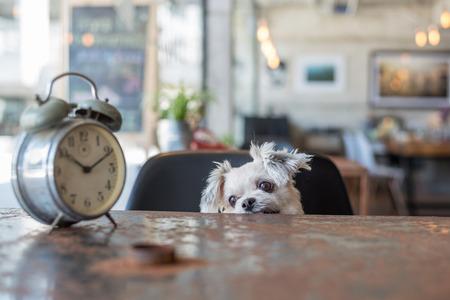Zoet hond zo schattig gemengd ras met Shih-Tzu, Pommeren en poedel op zoek iets in een café van de koffie winkel met een klok vintage stijl Stockfoto