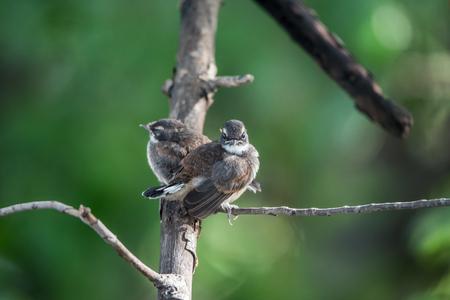 fraternidad: Two birds (Pied Fantail Flycatcher, Rhipidura javanica) black color in a nature wild are couple, friends or brethren Foto de archivo
