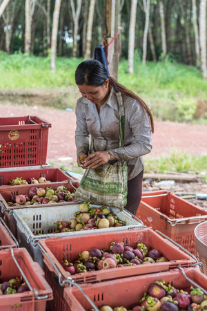 Chanthaburi, Thailand - July 8, 2017 : Unidentified farmer and Mangosteen is a queen of fruit in Thailand and asia fruit have a sweet can buy at Thai street food and fruit market at agriculture farm