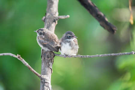 Two birds (Pied Fantail Flycatcher, Rhipidura javanica) black color in a nature wild are couple, friends or brethren Stock Photo